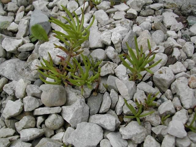 Talinum spinescens Talinu11