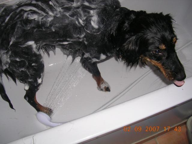 Gypsie dans la baignoire Dscn6412
