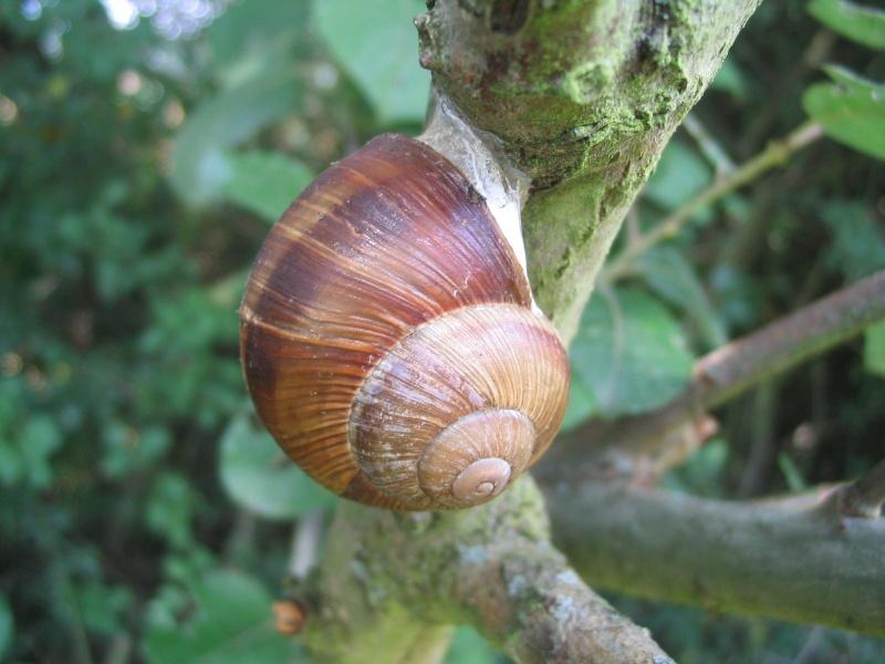 [résolu]Gasteropodes terrestres actuels 31_aou12