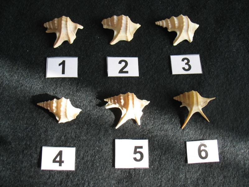 [résolu]Aporrhais pespelicani (L.1758),Aporrhais pesgallinae BARNARD Apporr10