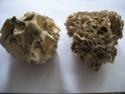 [résolu]Lithophyllum tortuosum (ESPER) Actuel10