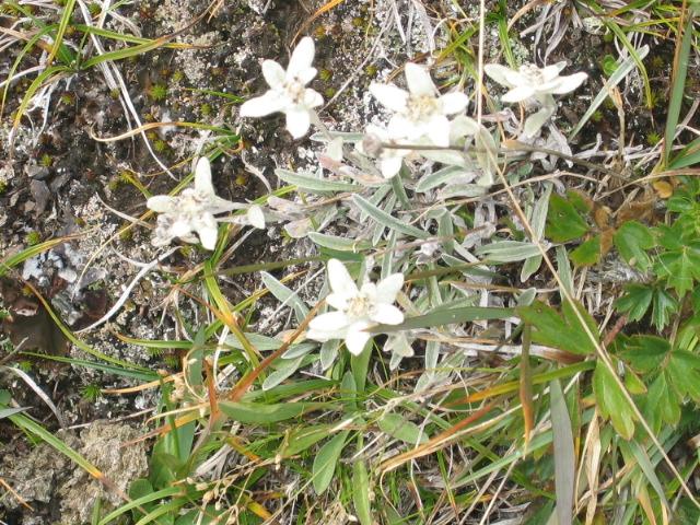 La flore en Haute Tarentaise Edelwe10