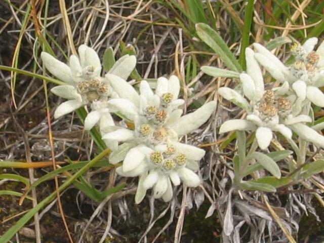 La flore en Haute Tarentaise Edelwe11