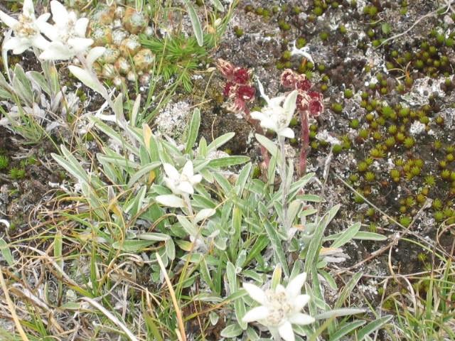 La flore en Haute Tarentaise Edelwe12