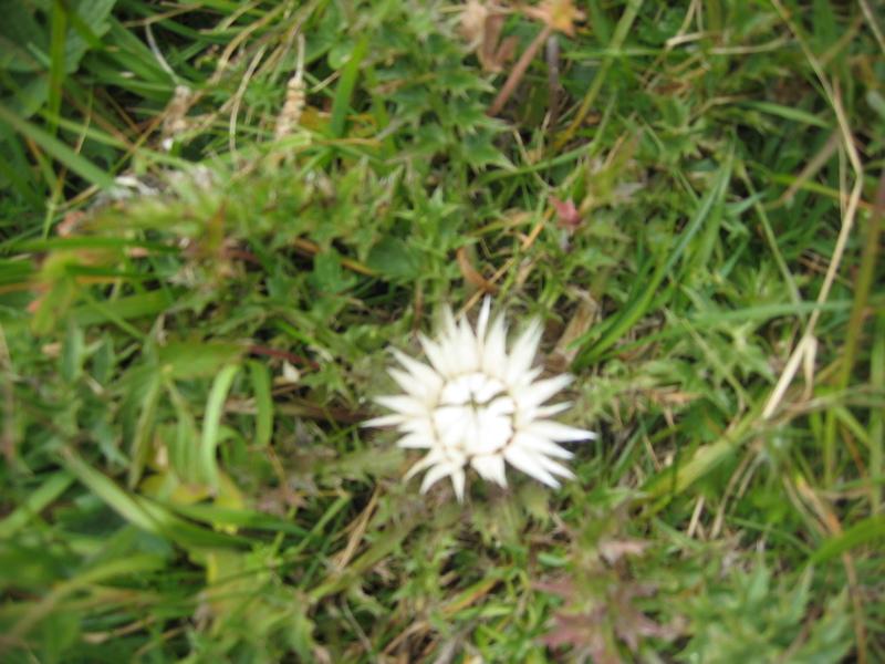 La flore en Haute Tarentaise Img_0016