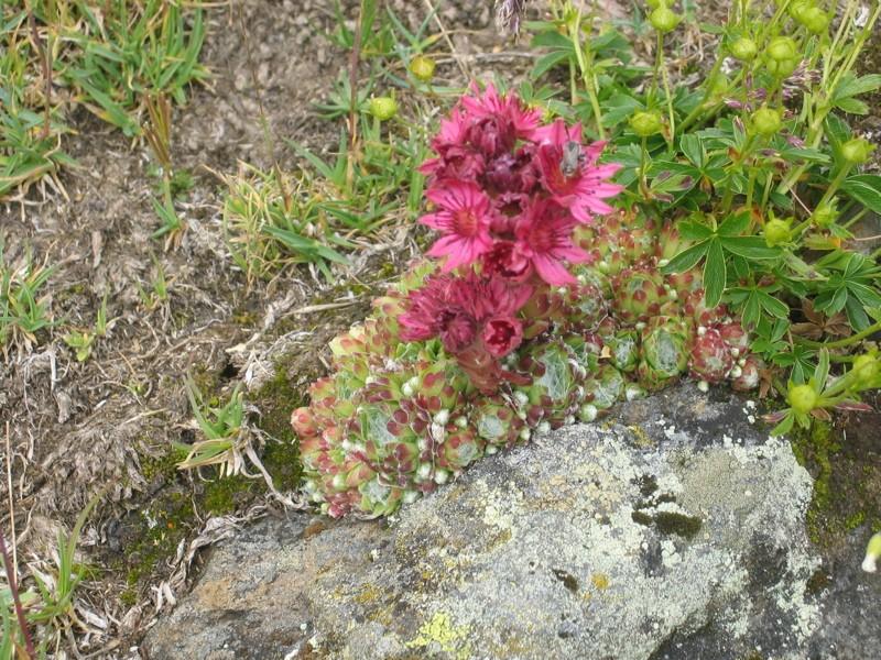 La flore en Haute Tarentaise Joubar10