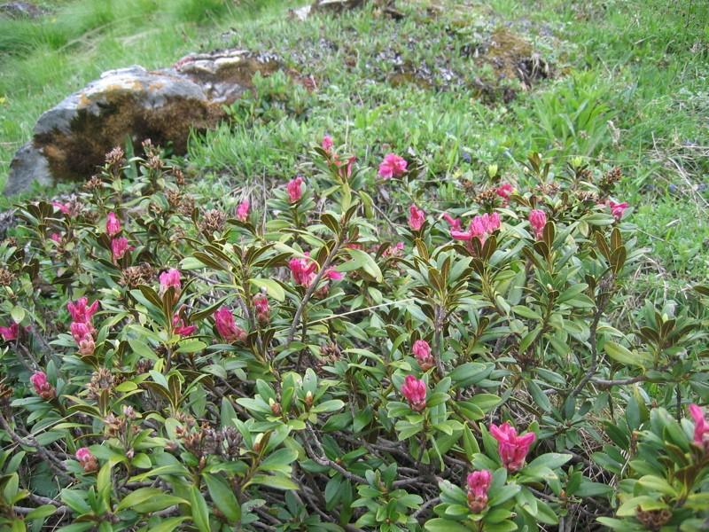 La flore en Haute Tarentaise Rhodod10