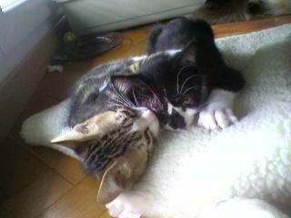 3 chatons (Kiyo, Leïla et Malo) Photo-56