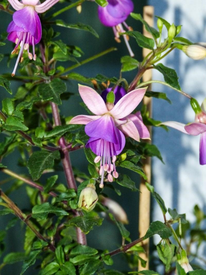 fuchsia genii P1040511