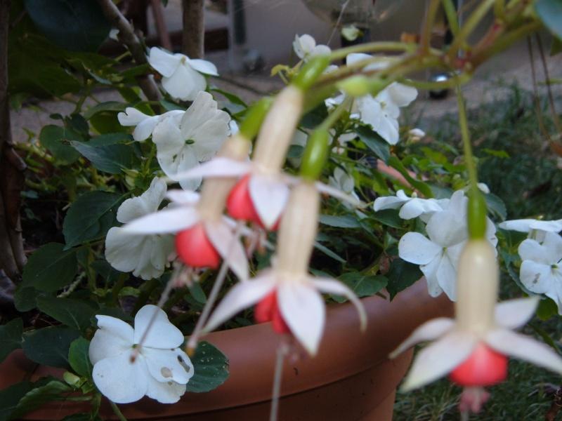 quelques fleurs du jardin avant l'hiver!! Les_fl20