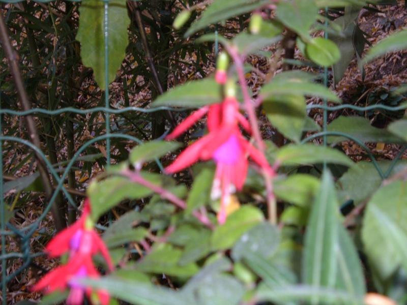 quelques fleurs du jardin avant l'hiver!! Les_fl21