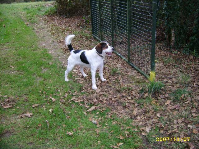 ADHOC, croisé beagle/griffon mâle, 5 ans 1/2 (56) Nov_0710
