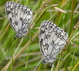 Papillon Demi-d10