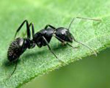 grosses fourmis noires V_img_11