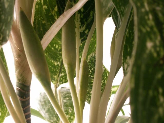 Aglaonema en fleurs Pict1230
