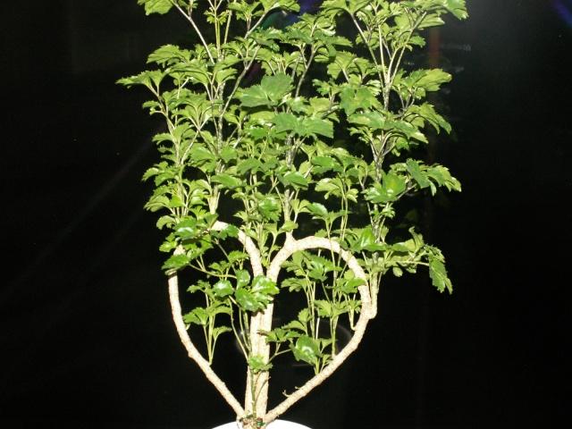 Polyscias filicifolia Pict1231