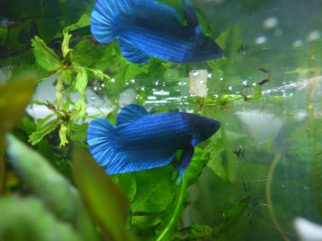 Iris et Bleuet P1120111
