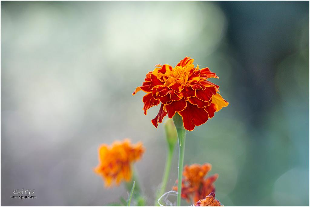 Quelques fleurs de fin d'été ... _dm_5110