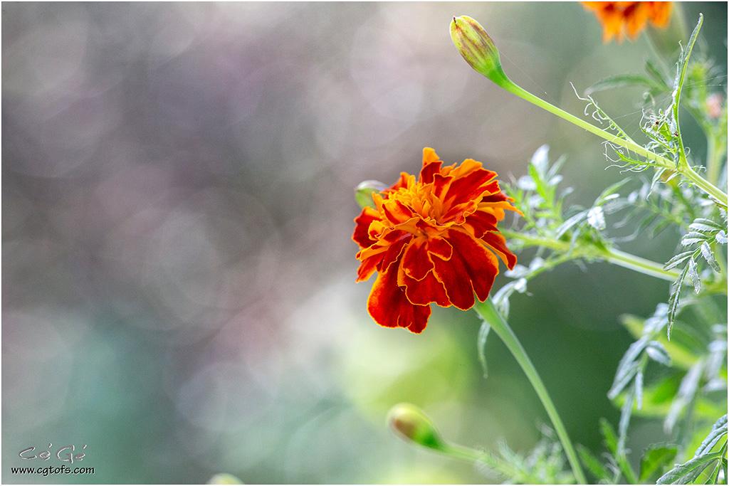 Quelques fleurs de fin d'été ... _dm_5111
