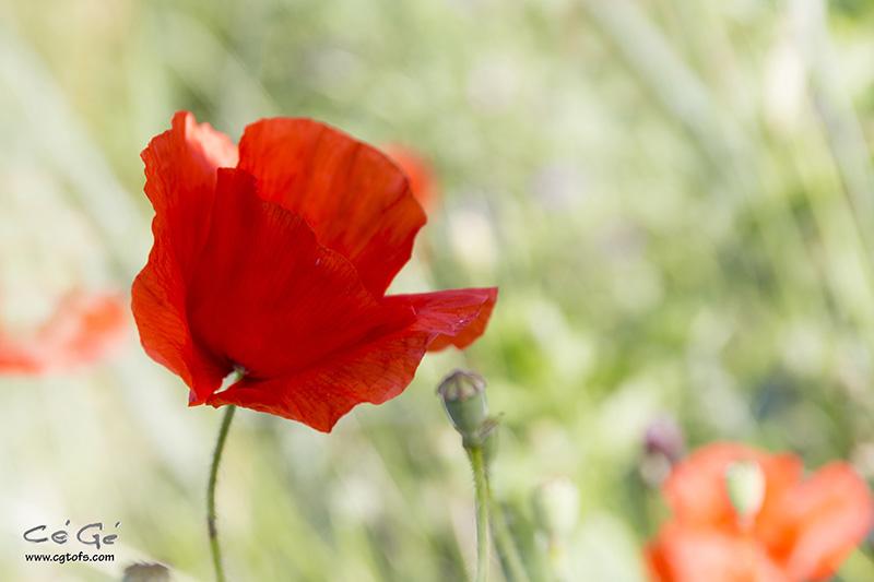 Quelques fleurs des prés ... _dm_8510