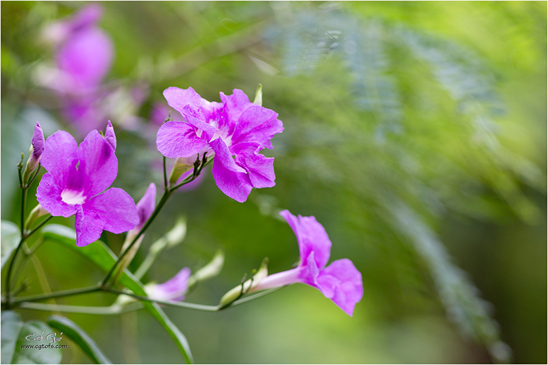 Des fleurs sous les tropiques ... W_dm_239