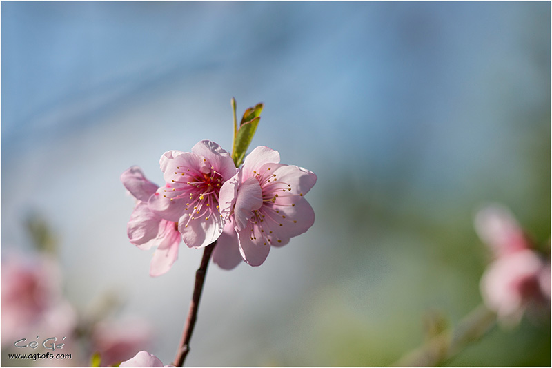 Du rose dans le printemps ... W_dm_321