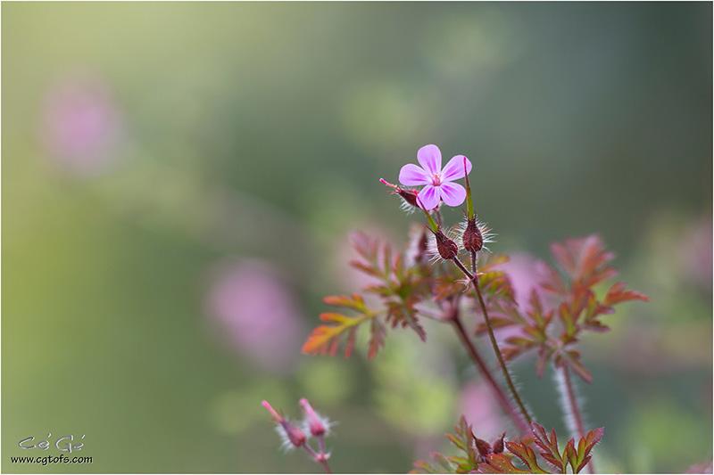 Du rose dans le printemps ... W_dm_322