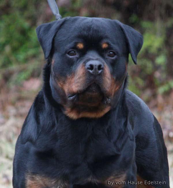 Rottweiler - Ida x Lacky Lac110