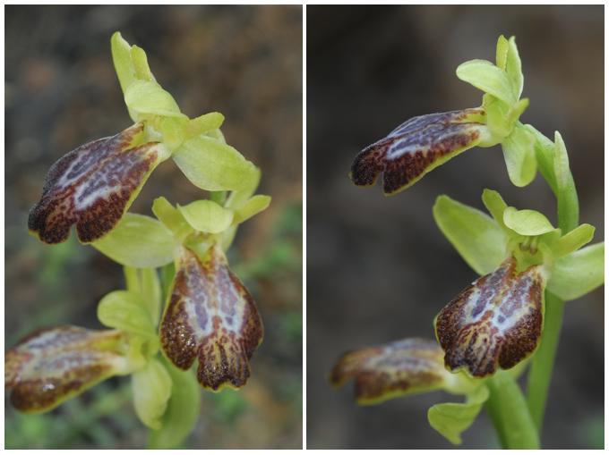 Ophrys marmorata / bilunulata / subfusca Bilunu10