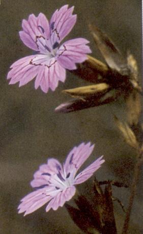 Dianthus strictus ex Turquie Dianth10