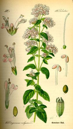 L'Origan, Origanum vulgare 250px-10