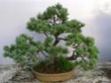 pinus pentaphylla évolution P1000710