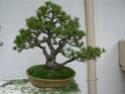 pinus pentaphylla évolution P1010310