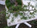 pinus pentaphylla évolution P1010410