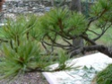 pinus pentaphylla évolution P1010411