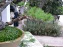 pinus pentaphylla évolution P1010412