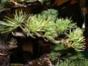 pinus pentaphylla évolution P1010413