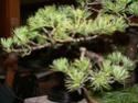 pinus pentaphylla évolution P1010414