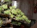 pinus pentaphylla évolution P1010415