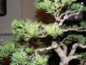 pinus pentaphylla évolution P1010416
