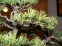 pinus pentaphylla évolution P1010417