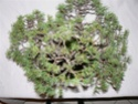 pinus pentaphylla évolution P1010418