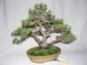 pinus pentaphylla évolution P1010419