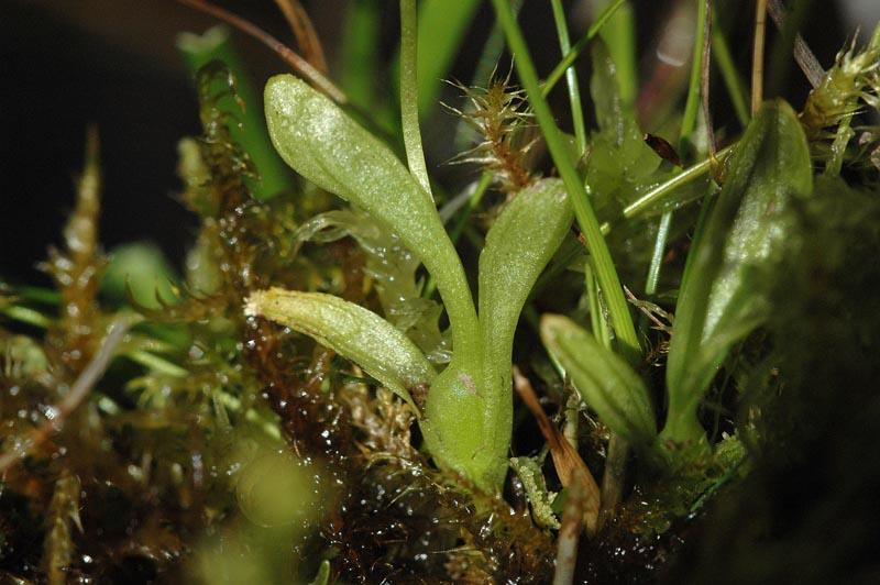 Hammarbya paludosa  ( Malaxis des marais ) Malaxi23