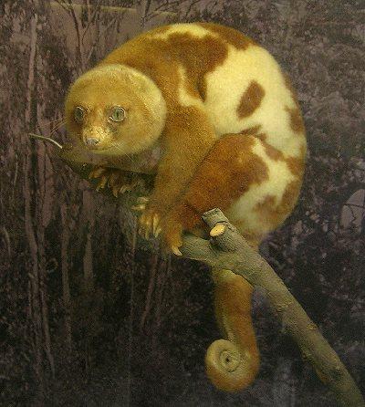Soutenons les espèces oubliées et pourtant si joviales - Page 22 Cuscus10