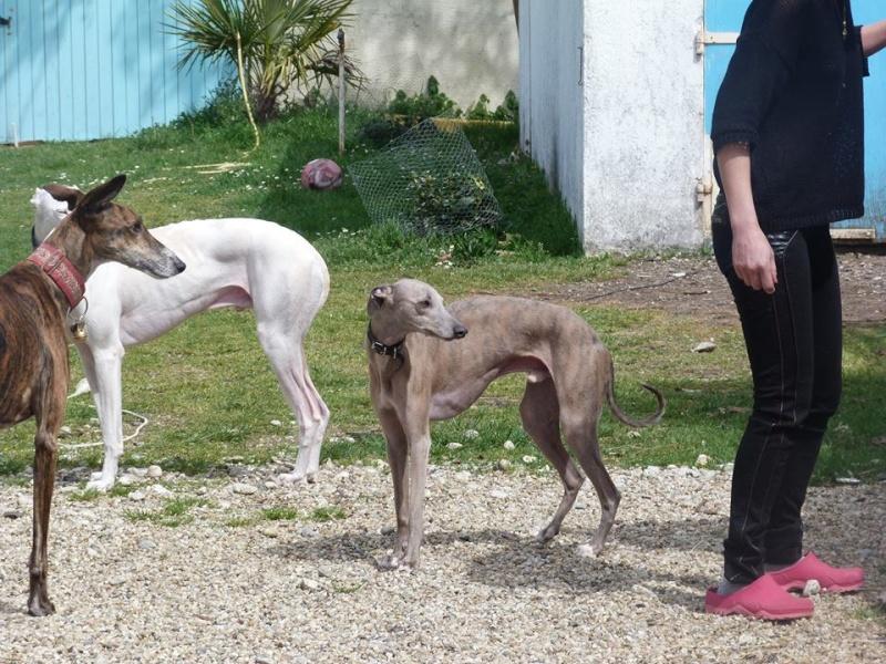 Herley whippet à l'adoption Adopté  11079610
