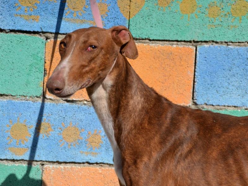Othello galgo Scooby France –Adopté/devenu OTTO Othell12