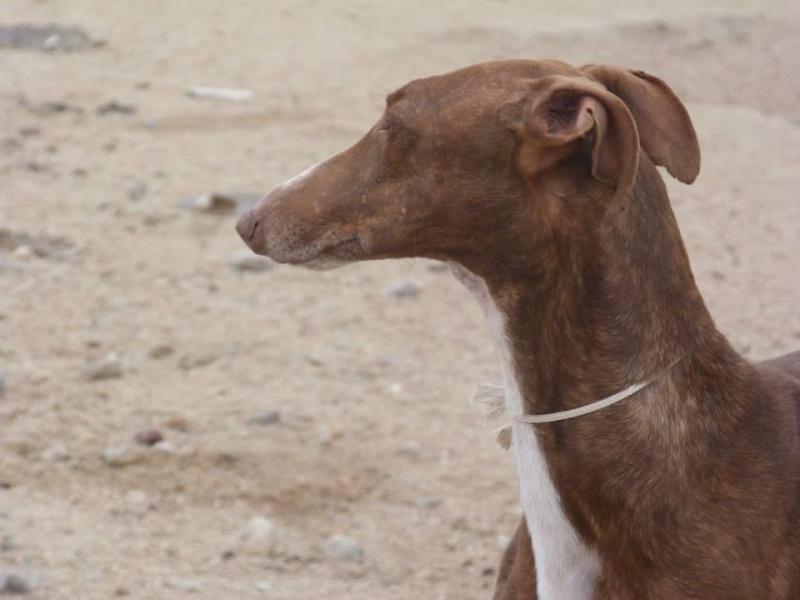 Othello galgo Scooby France –Adopté/devenu OTTO Othell14