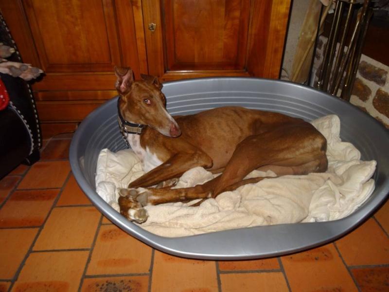 Othello galgo Scooby France –Adopté/devenu OTTO Othell23