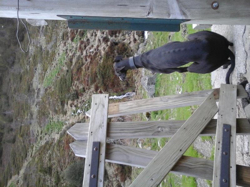 Tibu galguito à l'adoption d'une grande beauté Adopté !Scooby France  - Page 3 Tibu_310